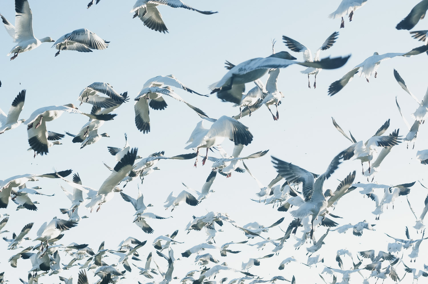 Snow Geese by Adrian Unger